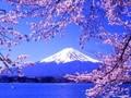 日本民歌:樱花啊,樱花缩略图