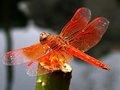 日本童谣:晚霞中的红蜻蜓
